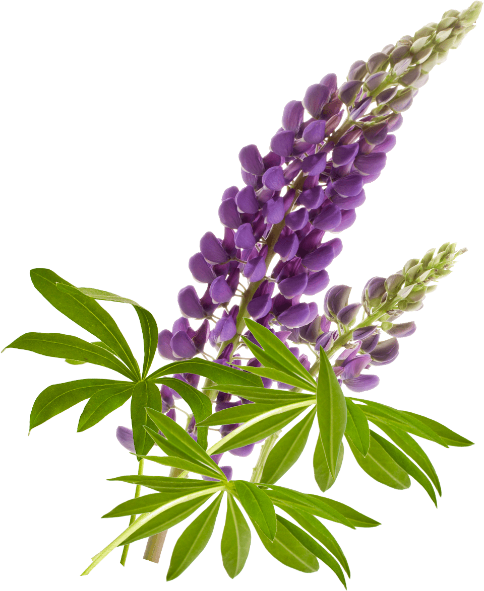 Start-Lupine-Pflanze